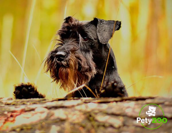schnauzer-mini-raza-perro
