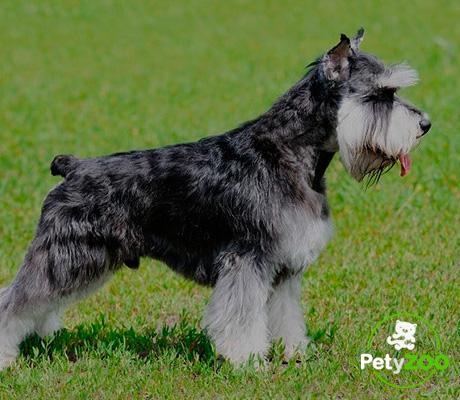schnauzer-miniatura-razas-perro-mini