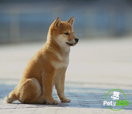 shiba-inu-mini-perros-razas