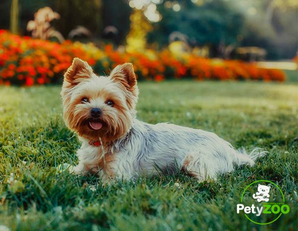 yorkshire-terrier-cuidados-higiene-4