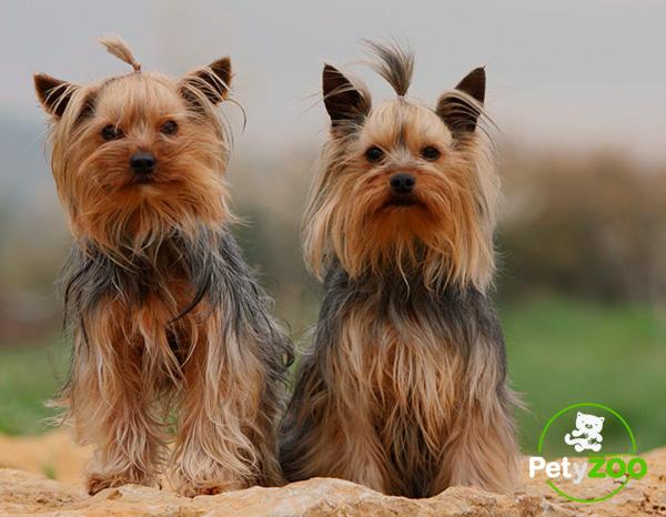 yorkshire-terrier-raza-cuidados-3