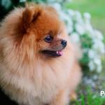 """5 cosas que tienes que saber sobre el Pomerania, el perro """"tacita de té"""""""