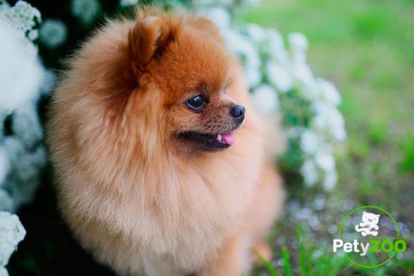 perro-pomerania-curiosidades