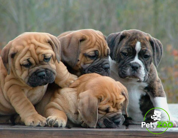 bulldog-cachorros-tipos-adorables-caracteristicas