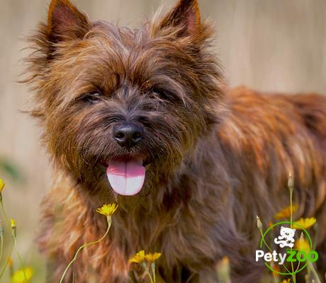 cairn-terrier-cachorro