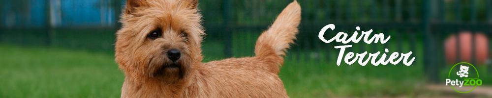 cairn-terrier-razas-perros
