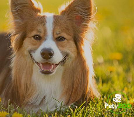 corgi-perros-higiene-consejos