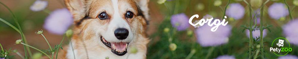 corgi-razas-perro