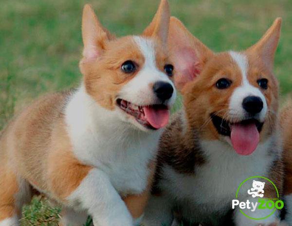 corgis-perros-cachorros-salud