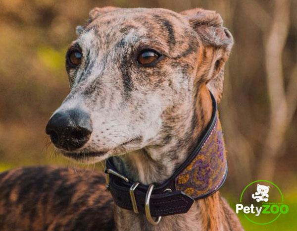 galgo-espanol-perro-razas-salud
