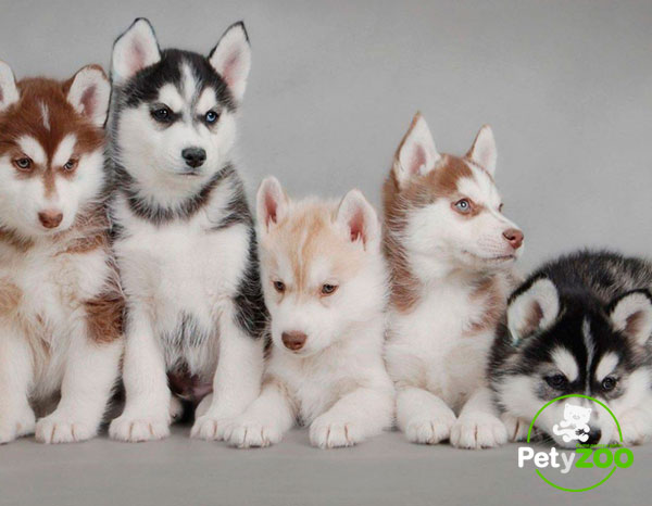 huskies-tipos-cachorros-manada-can