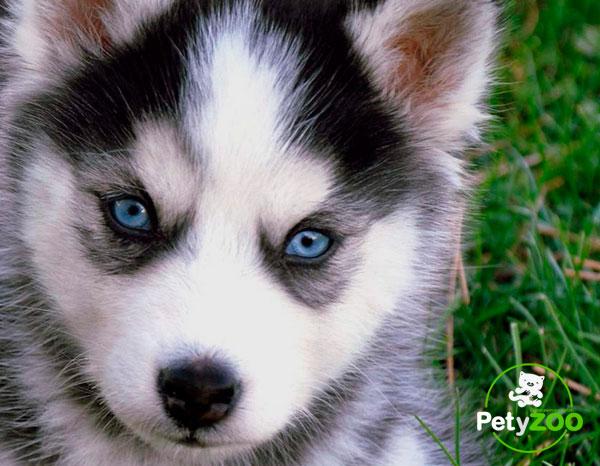 husky-razas-salud-higiene