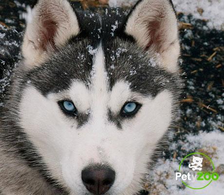 husky-siberiano-ojos-caracteristicas