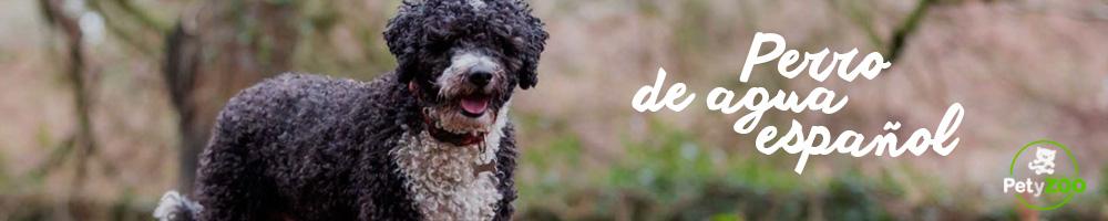 perro-agua-espanol-cuidados-consejos