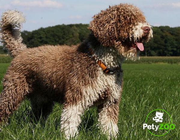 perro-agua-espanol-higiene-alimentacion
