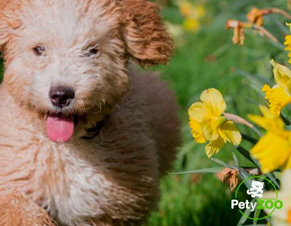 perro-agua-espanol-salud-cuidados