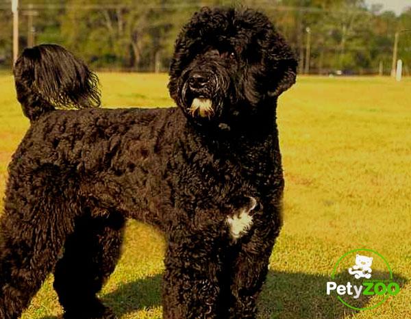 perro-aguas-portugal-tipos-mediano