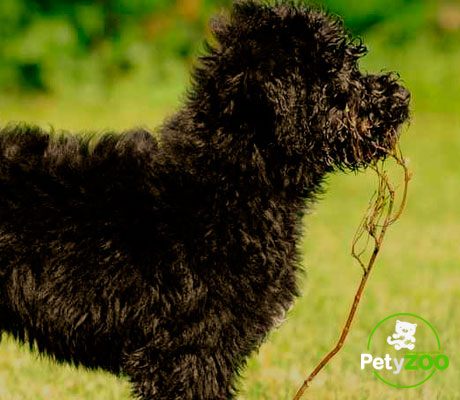 perro-aguas-portugues-cuidado-salud