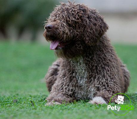 perro-espanol-aguas-raza-consejos-todo
