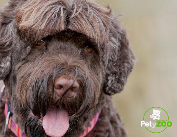 perro-portugues-raza-adiestramiento-salud