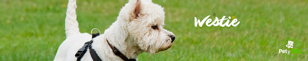 westie-raza-perro-cuidados