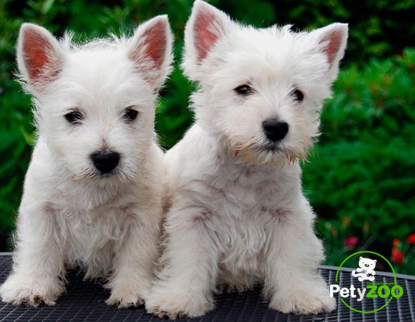 westies-perro-cachorros