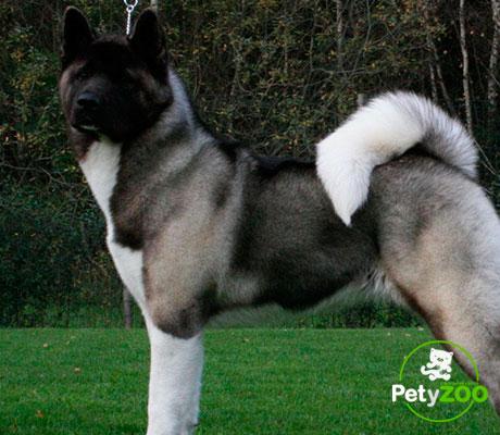 akita-americano-perro-raza-temperamento