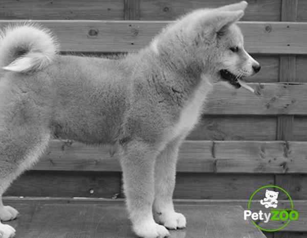 akita-inu-perro-raza-caracteristicas-alimentacion