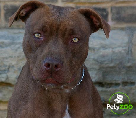 american-terrier-can-adiestramiento-razas