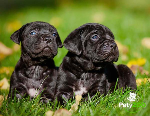 cane-corso-cachorros-cuidados-salud