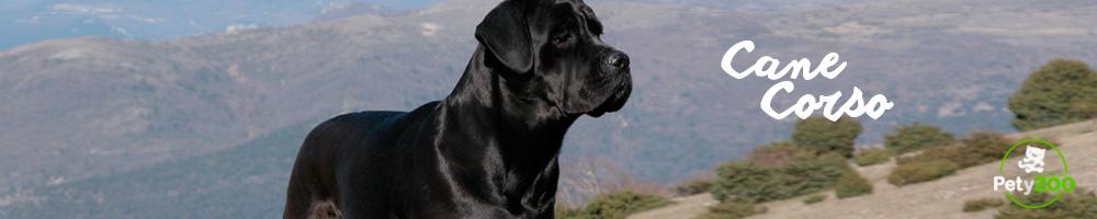 cane-corso-temperamento-comportamiento