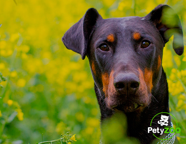 doberman-comida-salud-cachorros