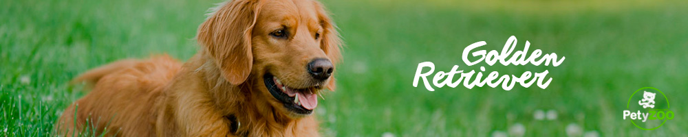 golden-retriever-caracteristicas-razas