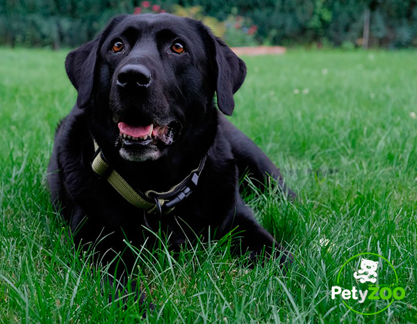 labrador-negro-perro-salud-higiene