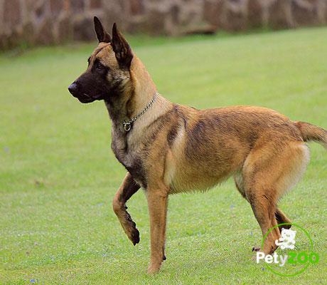 pastor-belga-raza-grande-curiosidades