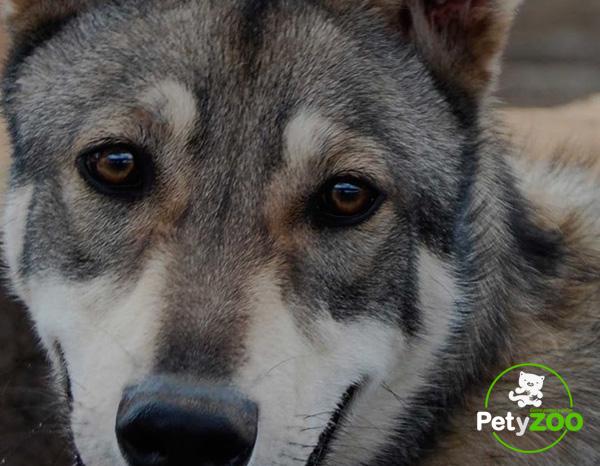 perro-lobo-adiestramiento-caracteristicas-raza