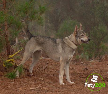 perro-lobo-canario-peso-color-caracteristicas