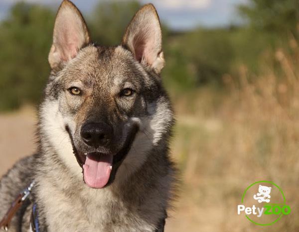 perro-lobo-checoslovaco-salud-cachorros