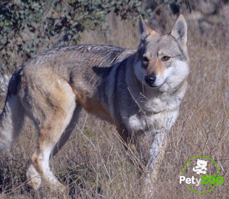 perro-lobo-chescoslovaquia-crecimiento-comida-salud