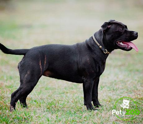staffordshire-bullterrier-can-tipos-comida-temperamento