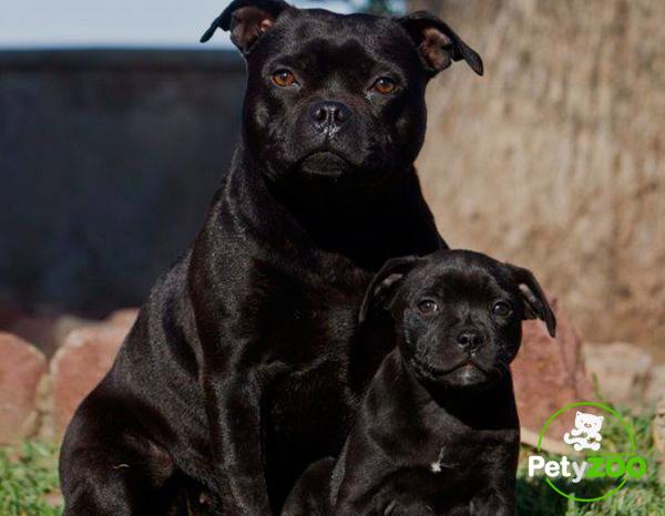 staffordshire-raza-cachorro-adiestramiento