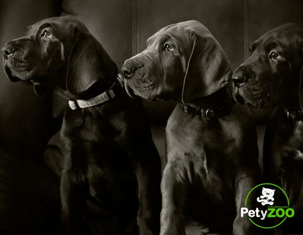 gran-danes-cachorros-cuidados-vacunas