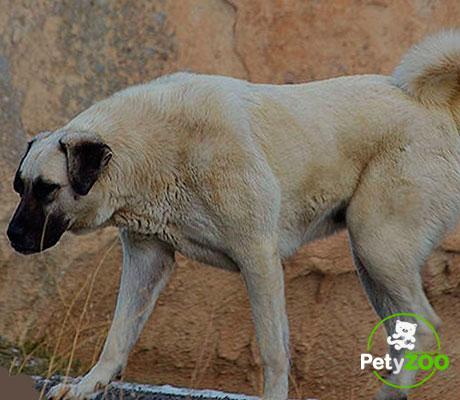 kangal-turco-perro-mascota-temperamento
