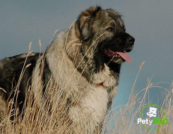 pastor-caucasico-cachorros-curiosidades