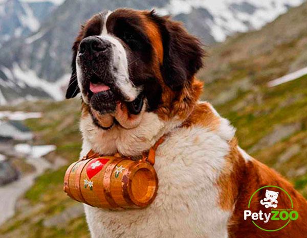 San Bernardo - Un perro lindo y amigable