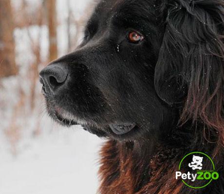 terranova-salud-razas-perro