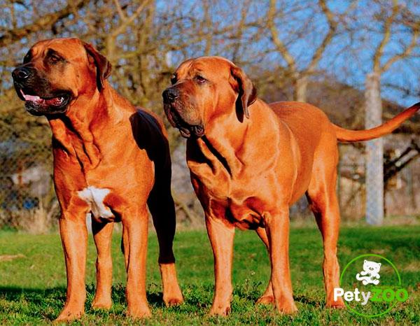 tosa-inu-adiestramiento-cachorros