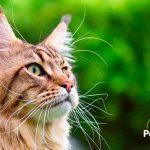 ¿Sabes qué le puede pasar a tu gato si no cuidas sus orejas?