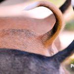 ¿Sabías que ya está prohibido cortar el rabo y las orejas a las mascotas en España?