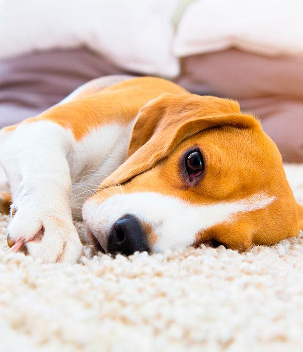 perro beagle cuidados y alimentación